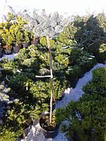Ель колючая - Picea pungens 'Glauca Globosa' (Pa 60см, горшок 5л)