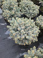 Ель колючая - Picea pungens Glauca Compacta (высота 20-25см, горшок 5л)