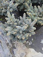 Ель колючая - Picea pungens Jeddeloh (высота 25-35см, горшок 5л)