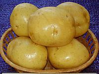 Картопля сорт Скарбниця
