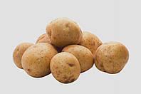 Картопля сорт Щедрик