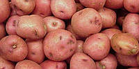 Картопля сорт Мандрівниця
