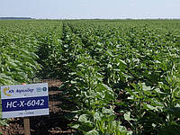 Семена гибрида подсолнечника НС-Х-195 экстра