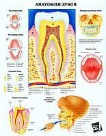 Постер глянцевый - Анатомия зубов, 60x78 см