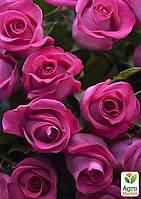 """Роза чайно-гибридная """"Топаз"""" (саженец класса АА+) высший сорт"""