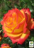 """Роза флорибунда """"Майн Мюнхен"""" (саженец класса АА+) высший сорт"""