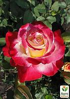 """Роза чайно-гибридная """"Дабл Делайт"""" (саженец класса АА+) высший сорт"""