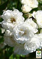 """Роза почвопокровная """"Sea Foam"""" (саженец класса АА+) высший сорт"""