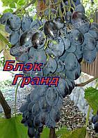 Саженцы винограда средне-позднего срока созревания сорта винограда Блэк Гранд