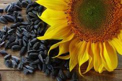 Семена подсолнечника Деркул (эконом)