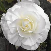 Бульби БЕГОНІЯ махрова біла, фото 1