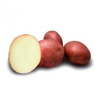 Лаура - насіннєва картопля Europlant. I репродукция