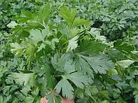 Семена Петрушки Новас, 100 гр.