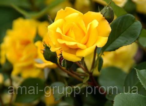 Выбираем сорт розы, на что обратить внимание