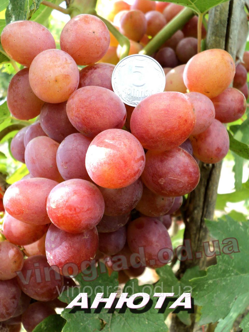 Саджанці винограду середньо-пізнього терміну дозрівання сорти Анюта