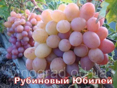 Саджанці винограду, середнього терміну дозрівання сорти Рубіновий Ювілей