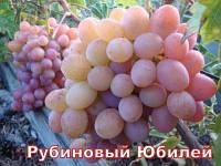 Саженцы винограда среднего срока созревания сорта Рубиновый Юбилей