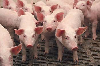 Названа огромная сумма убытков от африканской чумы свиней в Украине