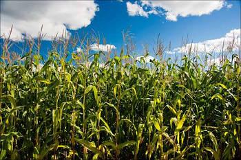 Фермер засеял кукурузой древний памятник культуры