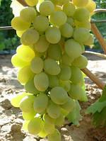 Виноград Загадка