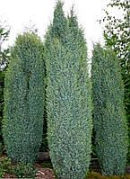 Можжевельник обыкновенный Суэцика / Juniperus communis Suecica 1м