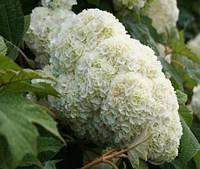 Гортензия дуболистная Гармони / Hydrangea quercifolia Harmony