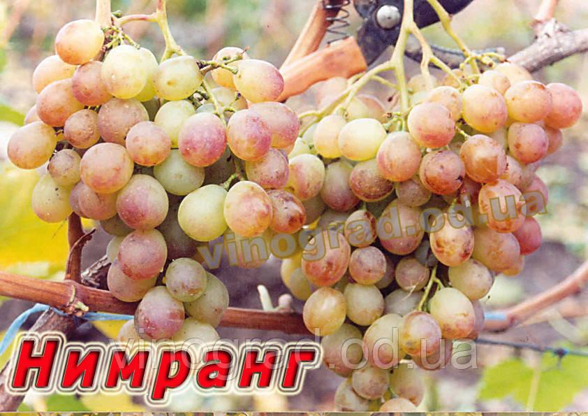 Сорт винограда позднего срока созревания сорта Нимранг