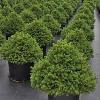 Ель обыкновенная Охлендорфи Р9 (Picea abies Ohlendorffii), фото 1