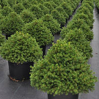 Ель обыкновенная Охлендорфи Р9 (Picea abies Ohlendorffii)
