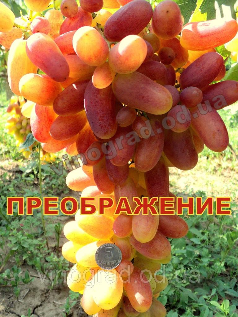 Саджанці винограду раннього терміну дозрівання сорти Перетворення