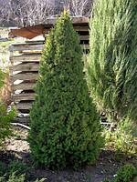 Ель канадская сизая Коника Р12 (Picea glauca Conica), фото 1