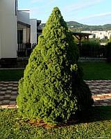 Ель канадская сизая Коника Р9 (Picea glauca Conica), фото 1
