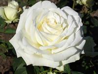 Саженец роз чайно-гибридной АВАЛАНЖ
