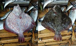 Камбала-калкан чорноморська велика добірна, 4+ кг/шт