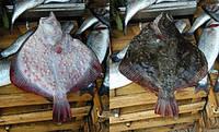 Камбала-калкан черноморская крупная отборная, 3 - 4 кг/шт