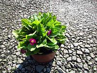 Примула садова С3