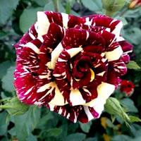 Саженец роз чайно-гибридной АБРАКАДАБРА