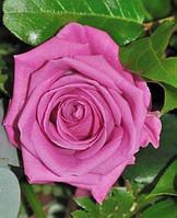 Саженец роз чайно-гибридной АКВА