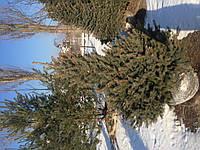 Ель сизая 1.5 м