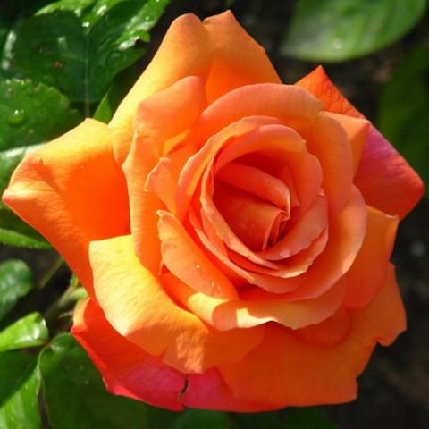 Штамбова троянда КОРВЕТ 2 щеплення