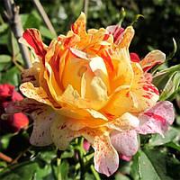 Роза кружевна Nimet