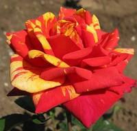 Саженец роз чайно-гибридной ПАПАДЖЕНА