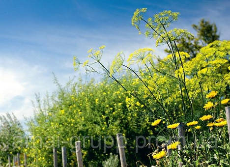Укроп: сорта и выращивание