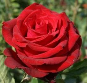 Саженец роз чайно-гибридной РЕД БЕРЛИН