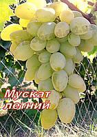 Саженцы винограда раннего срока созревания сорта Мускат Летний