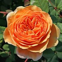 Саженец английской розы ЭКСКАЛИБУР
