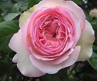 Саженец английской розы ЭДЕМ