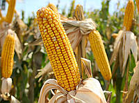 Семена кукурузы Подольский 274 СВ (ФАО-280)