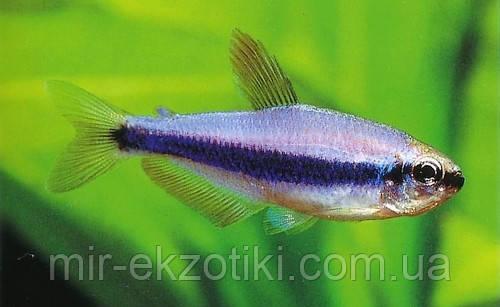 Керри фиолетовый неон