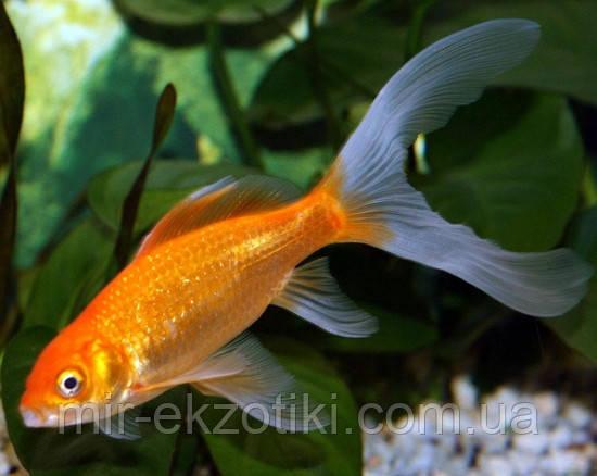 Золотая рыбка – Комета (8-9см)